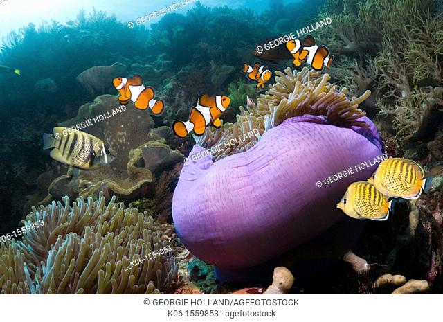 False clown anemonefish Amphiprion ocellaris with Magnificent anemone Heteractis magnifica and a pair of Spot-banded butterflyfish Chaetodon punctofasciatus on...