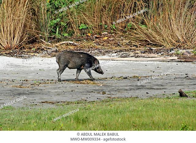 A wild boar in the Sundarbans UNESCO World Heritage Site, the Sundarbans is the largest mangrove forest in the world and lies on a delta at the mouth of the...