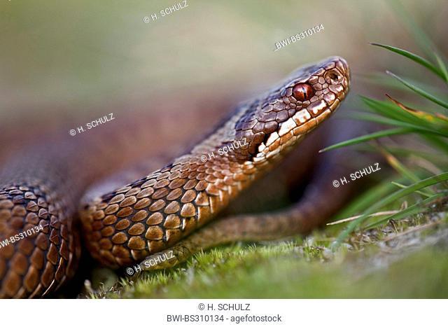 adder, common viper, common European viper (Vipera berus), portrait, side view, Denmark, Jylland
