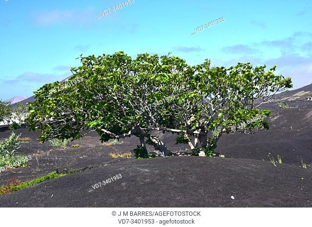 Fig or common fig (Ficus carica) is a deciduous tree native to western Asia but cultivated in widely temperate regions of the World for its edible fruits