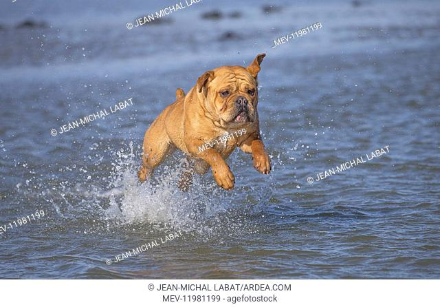Dog, Continental bulldog running in water, sea