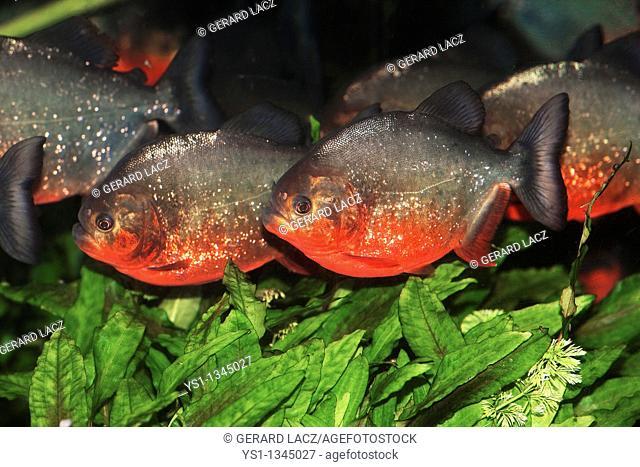 RED BELLIED PIRANHA pygocentrus nattereri, ADULTS