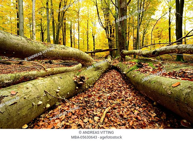 deadwood, nearly natural mixed deciduous forest with old oaks and beeches, autumn, Spessart Nature Park, Weibersbrunn, Bavaria, Germany, Europe