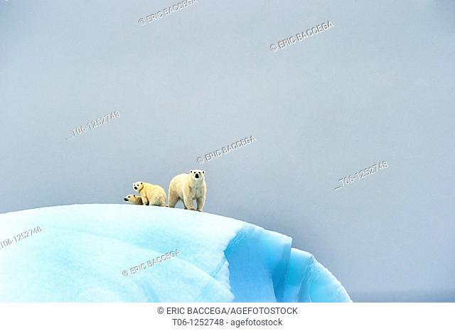 Female polar bear Ursus maritimus and her two cubs on an iceberg off Baffin Island  Nunavut, Canada