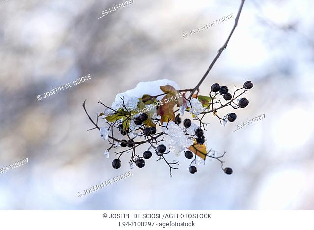 A dusting of snow on the leaves and berries of a crape myrtle tree after a snow storm. Birmingham, Alabama, USA