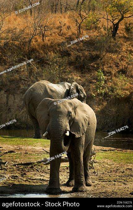 African elephants captured at a lake in the kruger nationalpark southafrica