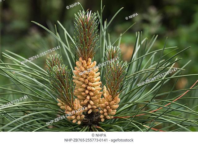 Scots Pine (Pinus sylvestris). Male flowers bearing pollen. May. Norfolk. England