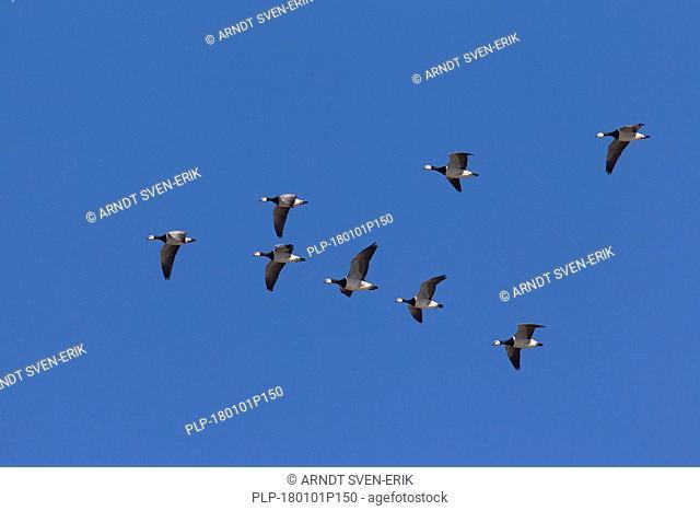 Migrating barnacle goose (Branta leucopsis) flock / barnacle geese flying in V-formation against blue sky