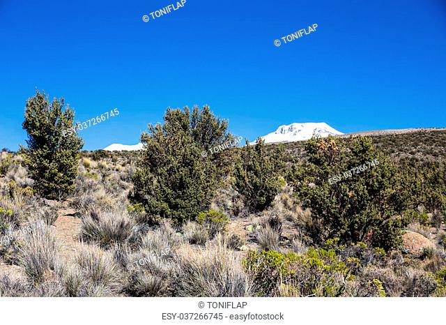 Quenoa forest, Polylepis tarapacana, the only vegetation that grows at 4000 meters altitude. It is considered one of the highest forests of the world