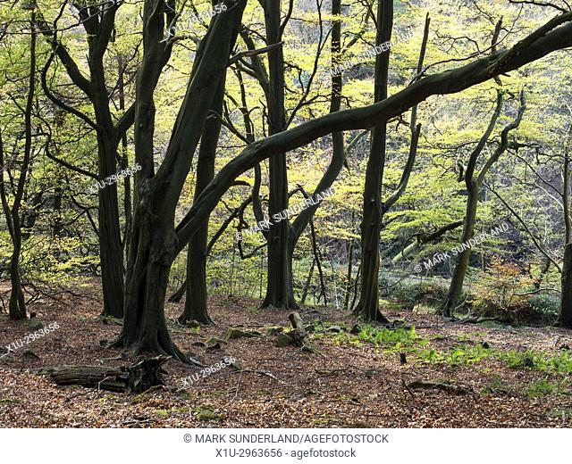 Autumn Trees in Middle Dean Woods near Pecket Well Hebden Bridge West Yorkshire England