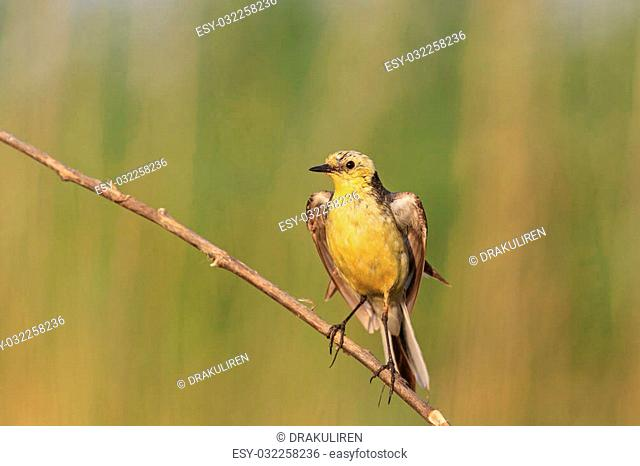 Western yellow wagtail with open wings , yellow bird at sunset, summer day, drink