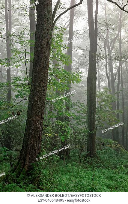 Misty autumnal morning and natural alder forest,Bialowieza Forest, Poland, Europe