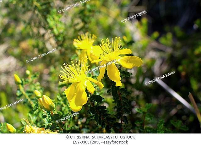 Bright yellow St Johnswort wildflowers in Mallorca, Spain