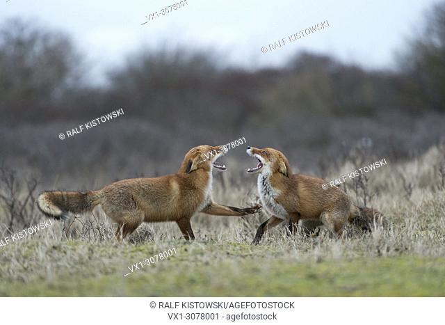 Red Foxes ( Vulpes vulpes ) confront, opposing each other, threatening, chasing, fighting, showing teeth, rutting season