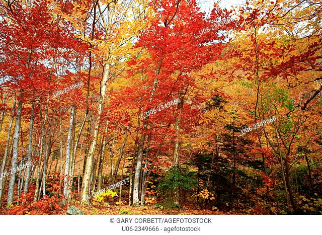 The Acadian Forest fall foliage in Cape Breton Highlands National Park, Nova Scotia, canada