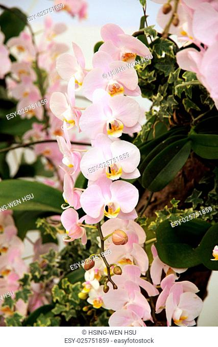 Pink orchid flowers blossoming