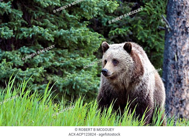 A front view of a grizzly bear ' Ursus arctos'; standing in the green grass at the edge of the forest in his home range in rural Alberta Canada