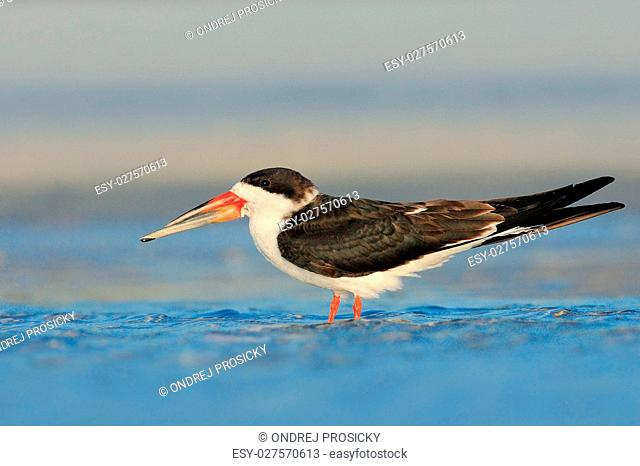 Black Skimmer, Rynchops niger, beautiful tern in the water