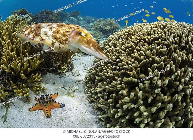 Adult broadclub cuttlefish, Sepia latimanus, feeding in coral head, Sebayur Island, Flores Sea, Indonesia