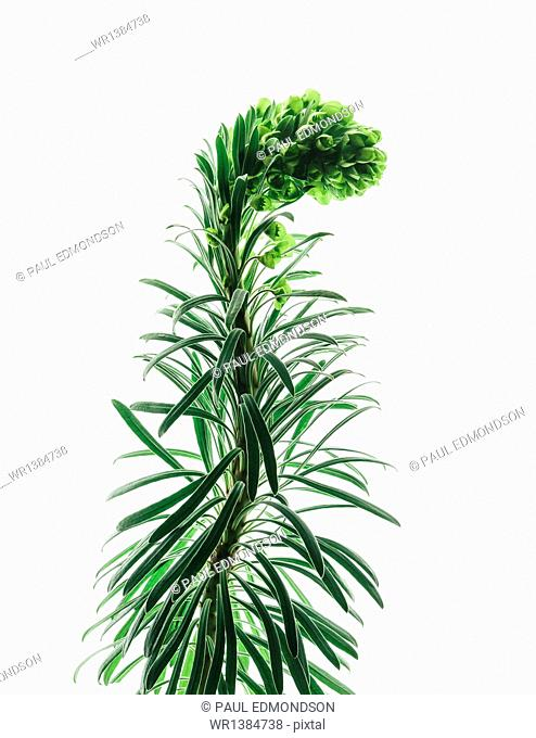 Close up of flowering Euphorbia plant with a curved inflorescence on a white background. Fleshy green leaves