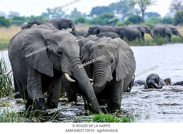 African Bush Elephant or African Savanna Elephant (Loxodonta africana). Selinda Camp. Eastern Selinda Spillway. Selinda Reserve. Northern Botswana