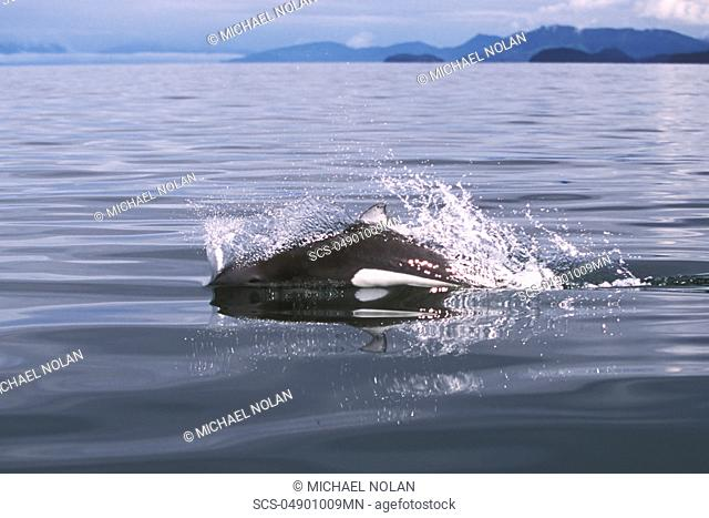 Adult Dall's Porpoise Phocoenoides dalli surfacing with characteristic 'rooster tail' splash in Icy Strait, Southeast Alaska
