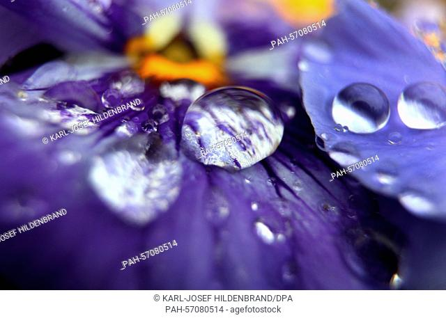 Rain drops cover the petals of a pansy in Wuerzburg, Germany, 29 March 2015. Photo: Karl-Josef Hildenbrand/dpa | usage worldwide
