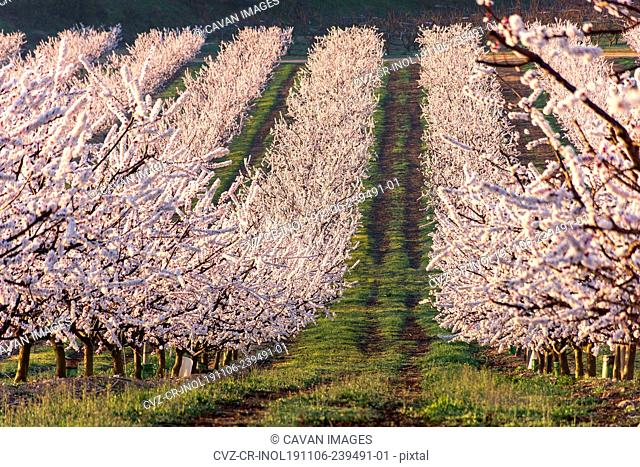 View of white peach tree fields in blossom on natural background in Aitona