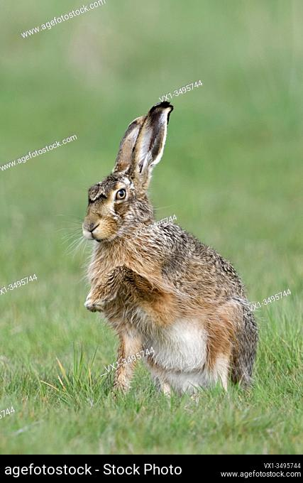 Brown Hare / European Hare / Feldhase ( Lepus europaeus ), sitting in grass, showing its front paw, giving paw, looks funny, wildlife, Europe