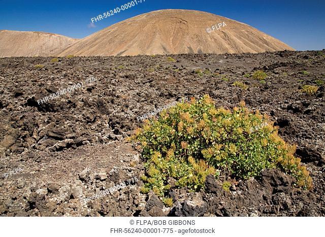 Canary Sorrel (Rumex lunaria) habit, growing on recent lava flow in volcanic habitat, Timanfaya N.P., Lanzarote, Canary Islands, March