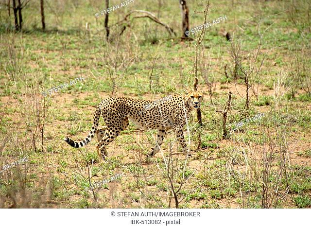 Cheetah (Acinonyx jubatus) at still hunt Serengeti National Park Tanzania