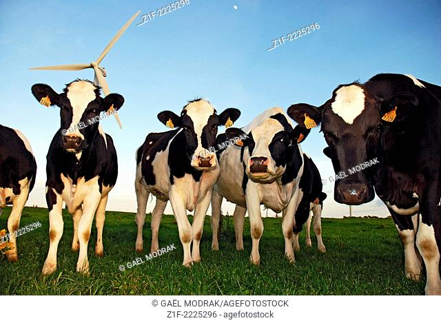 Group of Prim'Holstein caws in front of a wind turbine in Brittany, France