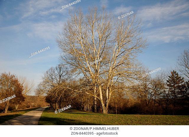 Populus alba, Silberpappel, Silver poplar
