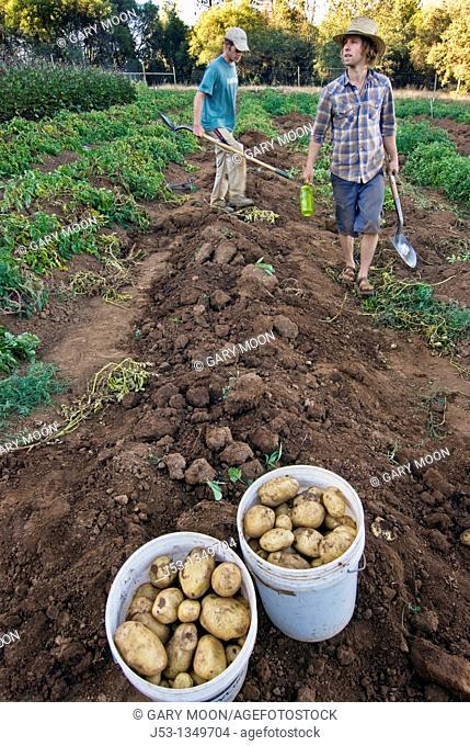 Young men harvesting potatoes on small organic farm, Nevada City, California