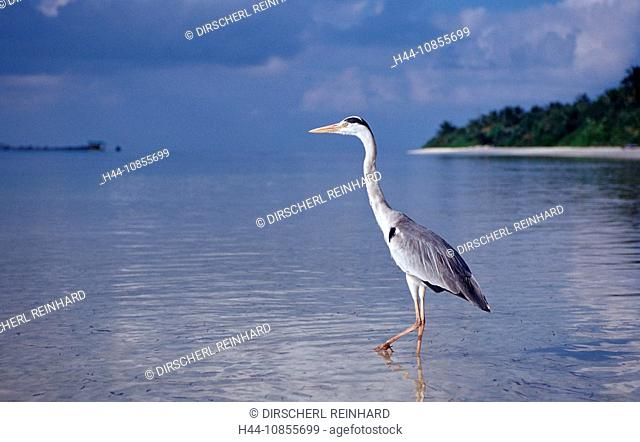 10855699, Maldives, Indian Ocean, Meemu Atoll, her