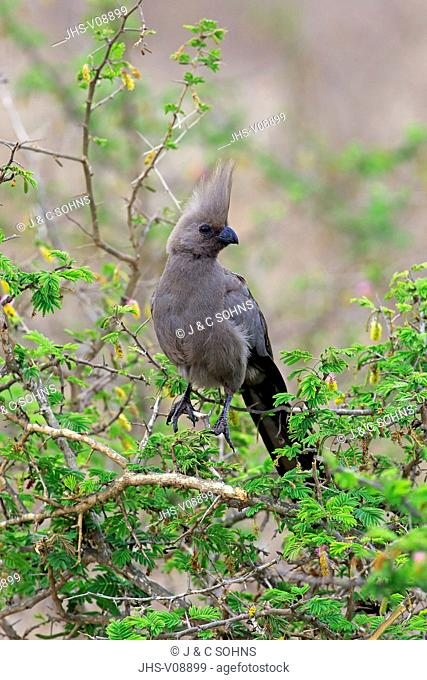 Grey Lourie, (Corythaixoides concolor), adult on tree, Kruger Nationalpark, South Africa, Africa