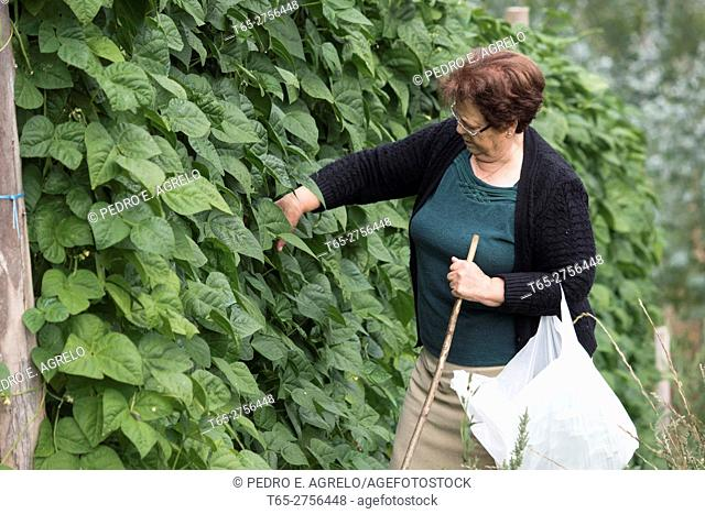 In the mountains of Lugo, A woman checks bean plants (Phaseolus vulgaris) to collect His fruit