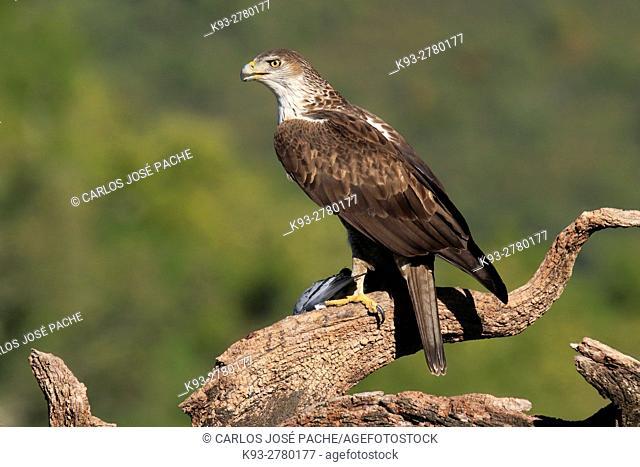 Bonelli's eagle (Aquila fasciata) with prey. Parque Nacional de Monfrague, Extremadura, Spain