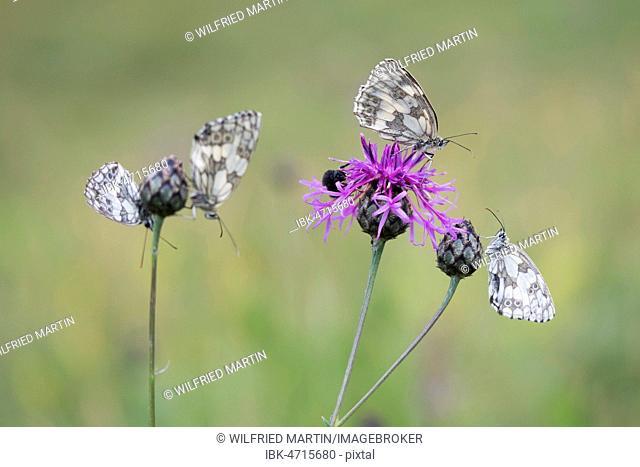 Marbled Whites (Melanargia galathea) on Brown Knapweed (Centaurea jacea), North Hesse, Hesse, Germany