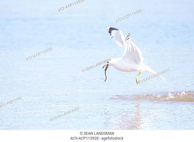 Ring-billed gull, Larus delawarensis, hunting, Charlottetown, Prince Edward Island, Canada