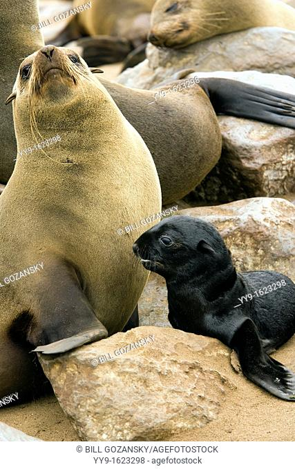 Cape Fur Seal Mother and Baby - Cape Cross Seal Reserve - near Henties Bay, Namibia, Africa