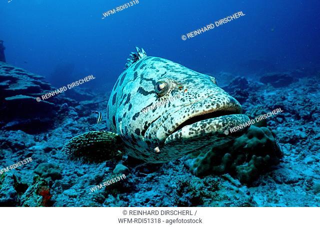 Potato grouper, Epinephelus tukula, Indian ocean Andaman sea, Burma Myanmar Birma