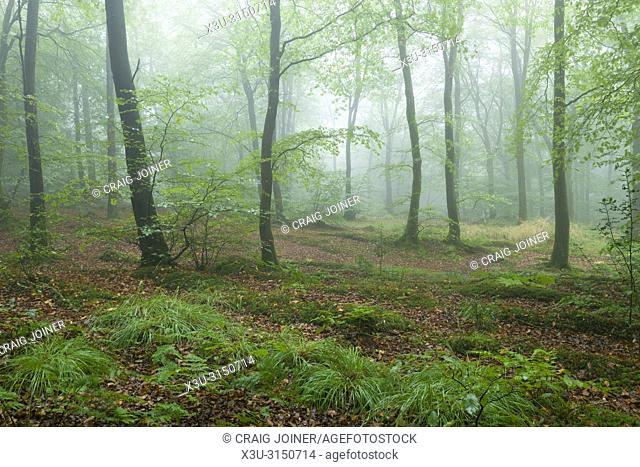 Early autumn at Beacon Hill Wood in the Mendip Hills, Somerset, England