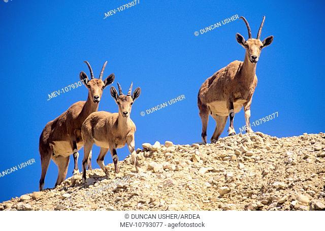 Nubian IBEX - two females with juvenile (Capra ibex nubiana)