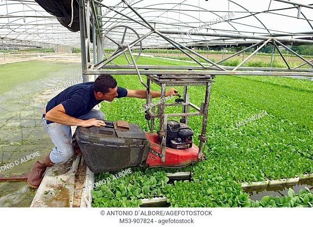 adult man setup a machine to trim young tobacco plants