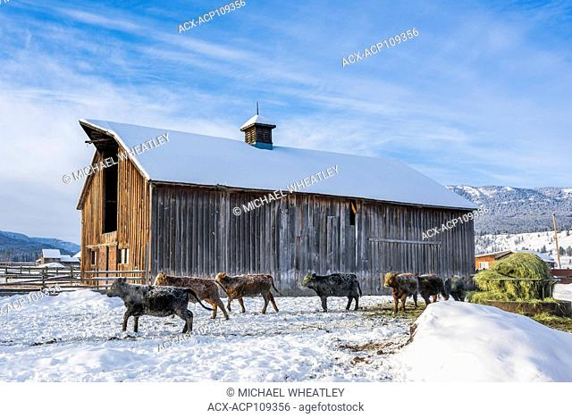 Cattle at winter feed lot, Westwold, British Columbia, Canada