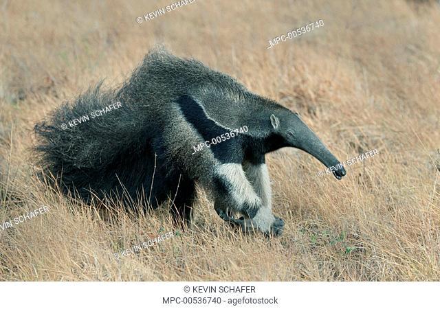 Giant Anteater (Myrmecophaga tridactyla), Karanambu Lodge, Guyana