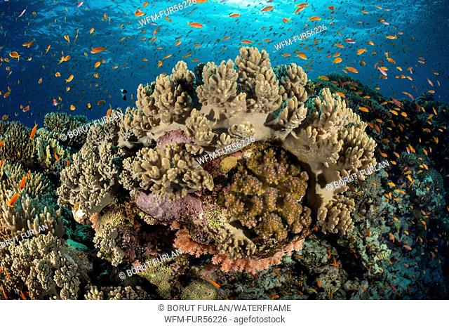 Coral Reef with Anthias, Elphinstone Reef, Red Sea, Egypt