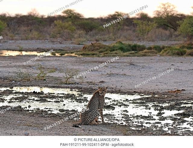 29 November 2019, Namibia, Etosha-Nationalpark: A cheetah sits by a puddle in Etosha National Park. Photo: Oliver Berg/dpa