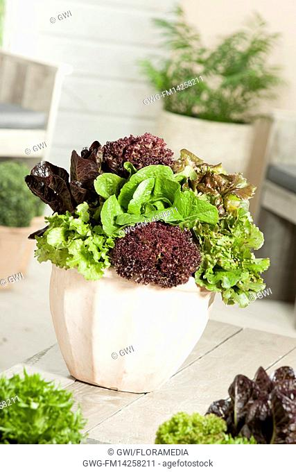 LETTUCE MIX IN POT LACTUCA SATIVA
